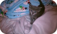 Domestic Shorthair Kitten for adoption in Tampa, Florida - Gidget