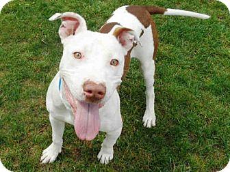 American Pit Bull Terrier Mix Dog for adoption in Sacramento, California - Jake SUPER URGENT!!