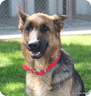 German Shepherd Dog Dog for adoption in Phoenix, Arizona - Heidi