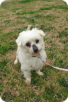 Maltese Dog for adoption in ROCKMART, Georgia - SUGAR