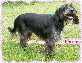 Schnauzer (Standard)/Spaniel (Unknown Type) Mix Dog for adoption in Ozark, Alabama - Phoebe