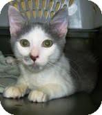 Domestic Shorthair Kitten for adoption in Winder, Georgia - * Jack