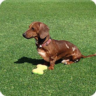 Dachshund Dog for adoption in Scottsdale, Arizona - Rocket