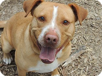 American Bulldog/Pit Bull Terrier Mix Dog for adoption in Spring Valley, New York - Sparky URGENT  REDUCED