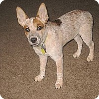 Adopt A Pet :: Tess (adoption pending) - Phoenix, AZ