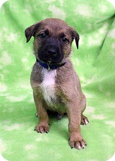 Shepherd (Unknown Type) Mix Puppy for adoption in Westminster, Colorado - Keith