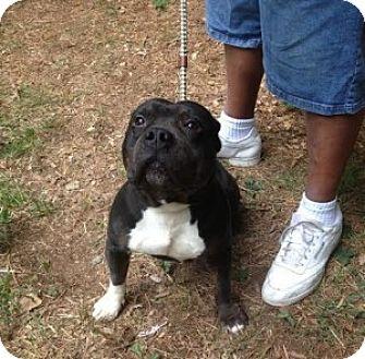 American Pit Bull Terrier Mix Dog for adoption in Medford, Massachusetts - Buddha
