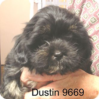 Shih Tzu Mix Puppy for adoption in Manassas, Virginia - Dustin