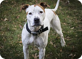 American Pit Bull Terrier/Pit Bull Terrier Mix Dog for adoption in Des Peres, Missouri - Zephyr