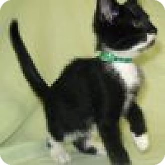 Domestic Shorthair Cat for adoption in Powell, Ohio - Ernest
