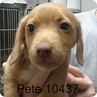 Adopt A Pet :: Pete - Greencastle, NC