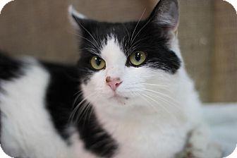 Domestic Shorthair Cat for adoption in Midland, Michigan - Kameo - $10