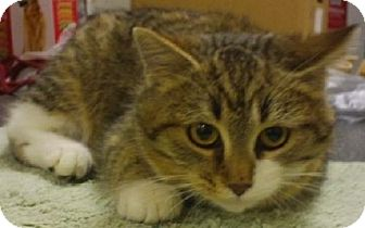 Domestic Shorthair Kitten for adoption in Knoxville, Iowa - Julia