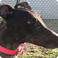 Greyhound Dog for adoption in Longwood, Florida - DKC Lily