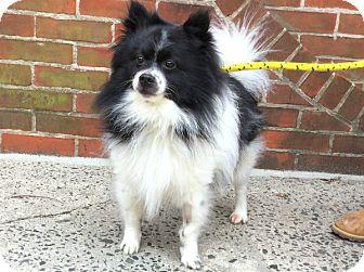 Pomeranian Mix Dog for adoption in Philadelphia, Pennsylvania - Frankie