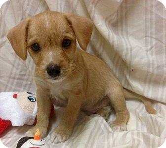 Yorkie, Yorkshire Terrier/Wheaten Terrier Mix Puppy for adoption in Santa Ana, California - Windsor (ARSG)