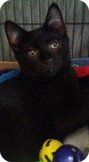 Domestic Shorthair Cat for adoption in Freeport, New York - Shaft