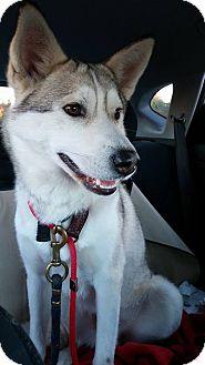 Siberian Husky Mix Dog for adoption in Tweed, Ontario - Kounai