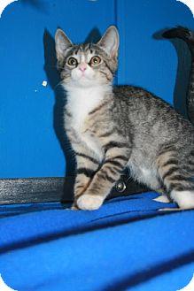 Domestic Shorthair Cat for adoption in Kankakee, Illinois - Taz