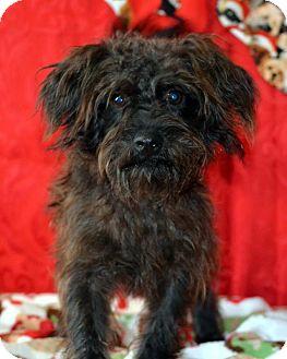 Terrier (Unknown Type, Small)/Shih Tzu Mix Dog for adoption in Okeechobee, Florida - Henri