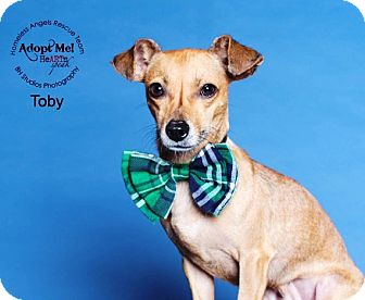 Chihuahua/Dachshund Mix Dog for adoption in Houston, Texas - Toby