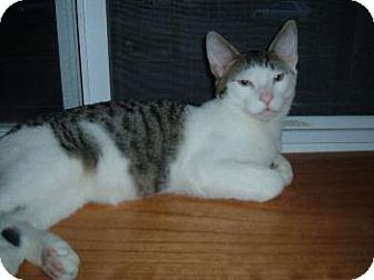 Domestic Shorthair Kitten for adoption in Walnutport, Pennsylvania - Goliath
