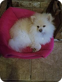 Pomeranian Dog for adoption in conroe, Texas - Lugo