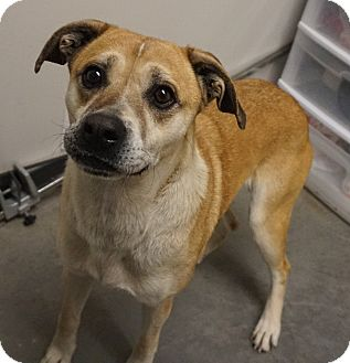 Shepherd (Unknown Type)/Boxer Mix Dog for adoption in Farmington, New Mexico - Sadie