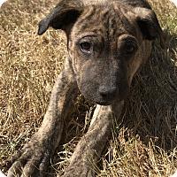 Adopt A Pet :: Snugles - Tumwater, WA