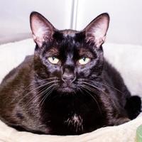 Adopt A Pet :: Meow-Meow - Annapolis, MD