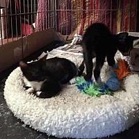 Adopt A Pet :: Boris - Tampa, FL