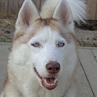 Adopt A Pet :: Opal - Raleigh, NC