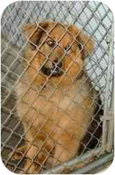 Shepherd (Unknown Type) Mix Dog for adoption in Reidsville, North Carolina - Annie