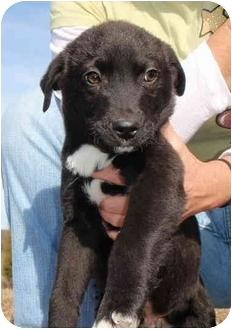 Labrador Retriever/Border Collie Mix Puppy for adoption in Braintree, Massachusetts - Jason