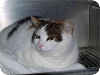 Domestic Shorthair Cat for adoption in El Cajon, California - April