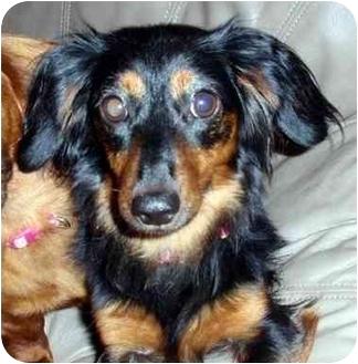 Dachshund Dog for adoption in Overland Park, Kansas - Stella