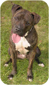 American Staffordshire Terrier/Pit Bull Terrier Mix Dog for adoption in Chicago, Illinois - Kahn