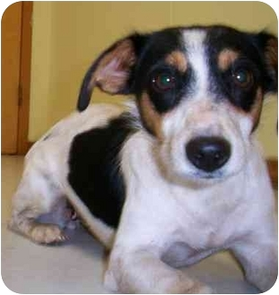 Rat Terrier Mix Dog for adoption in Shenandoah, Iowa - Misty