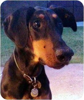 Doberman Pinscher Dog for adoption in Long Beach, California - Loki