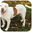 Photo 2 - American Bulldog/American Pit Bull Terrier Mix Dog for adoption in Peoria, Illinois - Ice