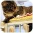 Photo 3 - Domestic Shorthair Cat for adoption in Walker, Michigan - Atlanta