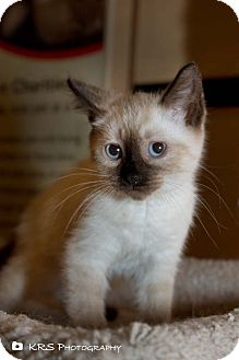Siamese Kitten for adoption in Millersburg, Ohio - Chyna