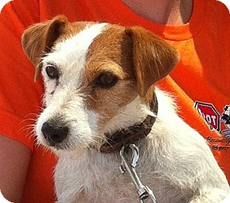 Jack Russell Terrier Dog for adoption in Harrah, Oklahoma - Roma