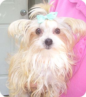 Maltese/Yorkie, Yorkshire Terrier Mix Dog for adoption in CAPE CORAL, Florida - small tan morkie