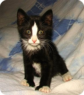 Domestic Shorthair Kitten for adoption in Norwich, New York - Antonio