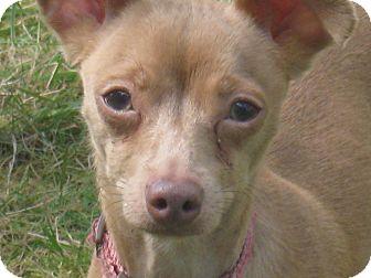 Chihuahua Mix Dog for adoption in Tumwater, Washington - Millie