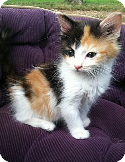 Calico Kitten for adoption in Starkville, Mississippi - Lena
