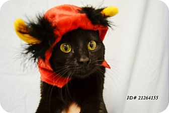 Domestic Shorthair Cat for adoption in Arlington/Ft Worth, Texas - Sapphire
