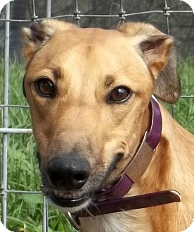 Greyhound Dog for adoption in Longwood, Florida - Ale Dolly Parton