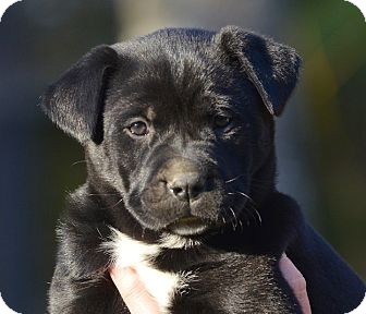 Labrador Retriever/Husky Mix Puppy for adoption in Brattleboro, Vermont - *Roxy...PENDING